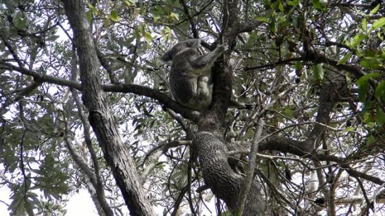 2010/04/19 Koala in Noosa